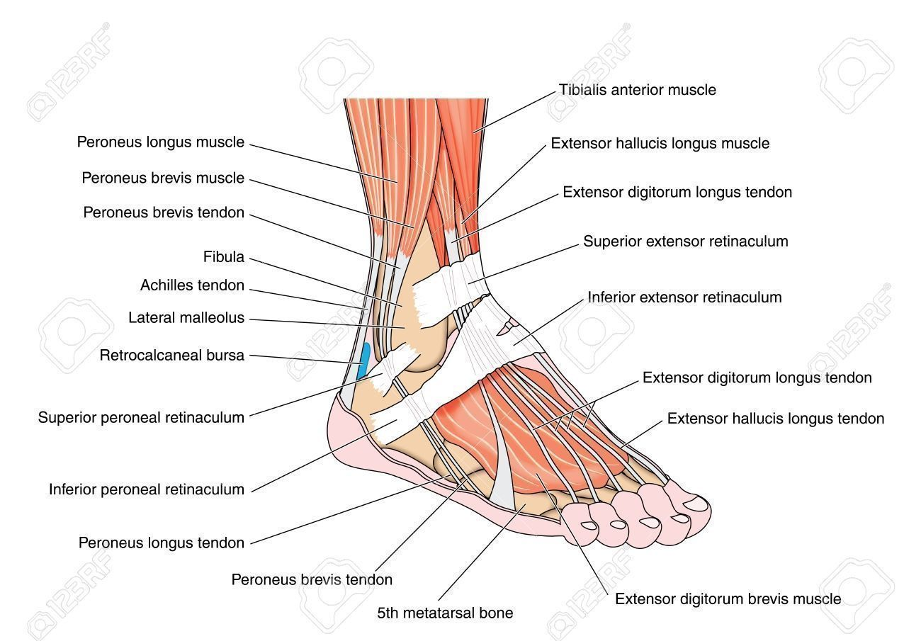 foot and ankle muscle anatomy tendons and muscles of the foot and ankle including the bones [ 1300 x 905 Pixel ]