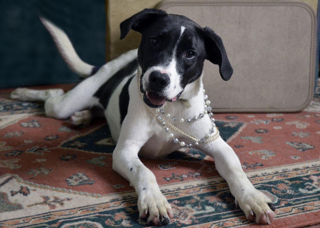 Beaglelab mix with images beagle beagle dog