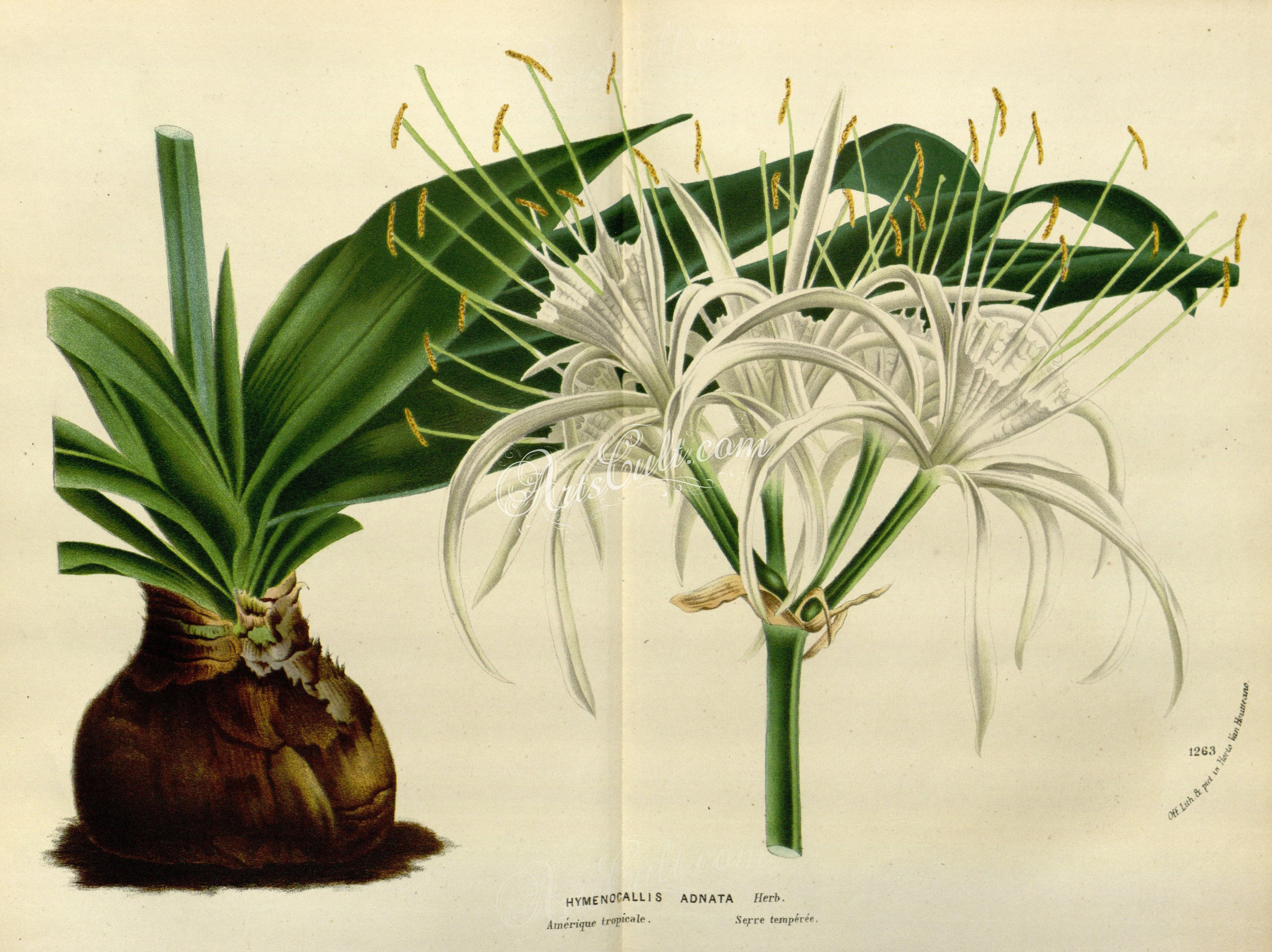 Hymenocallis adnata artscult pinterest flowers