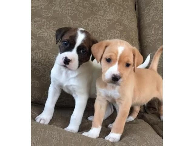 Two Adorable Boxer Puppies For Adoption Boxer Puppies For