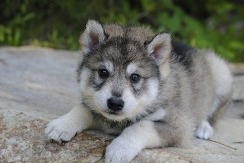 This Is The Kind Of Dog I Want A Tamaskan Tamaskan Puppies