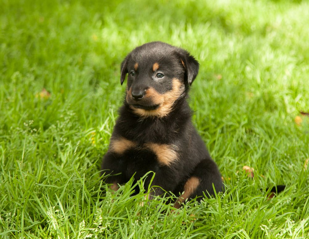 Golden Rottie Dog Breeds Puppies Rottweiler Puppies
