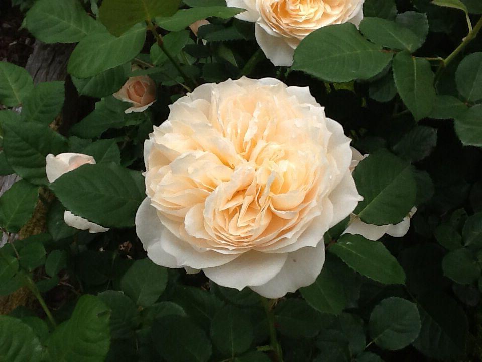 The gorgeous 'Troilus' rose
