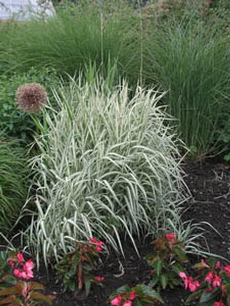 Ribbon grass strawberries cream earl may in my garden pinterest grasses plant for Earl may nursery garden center