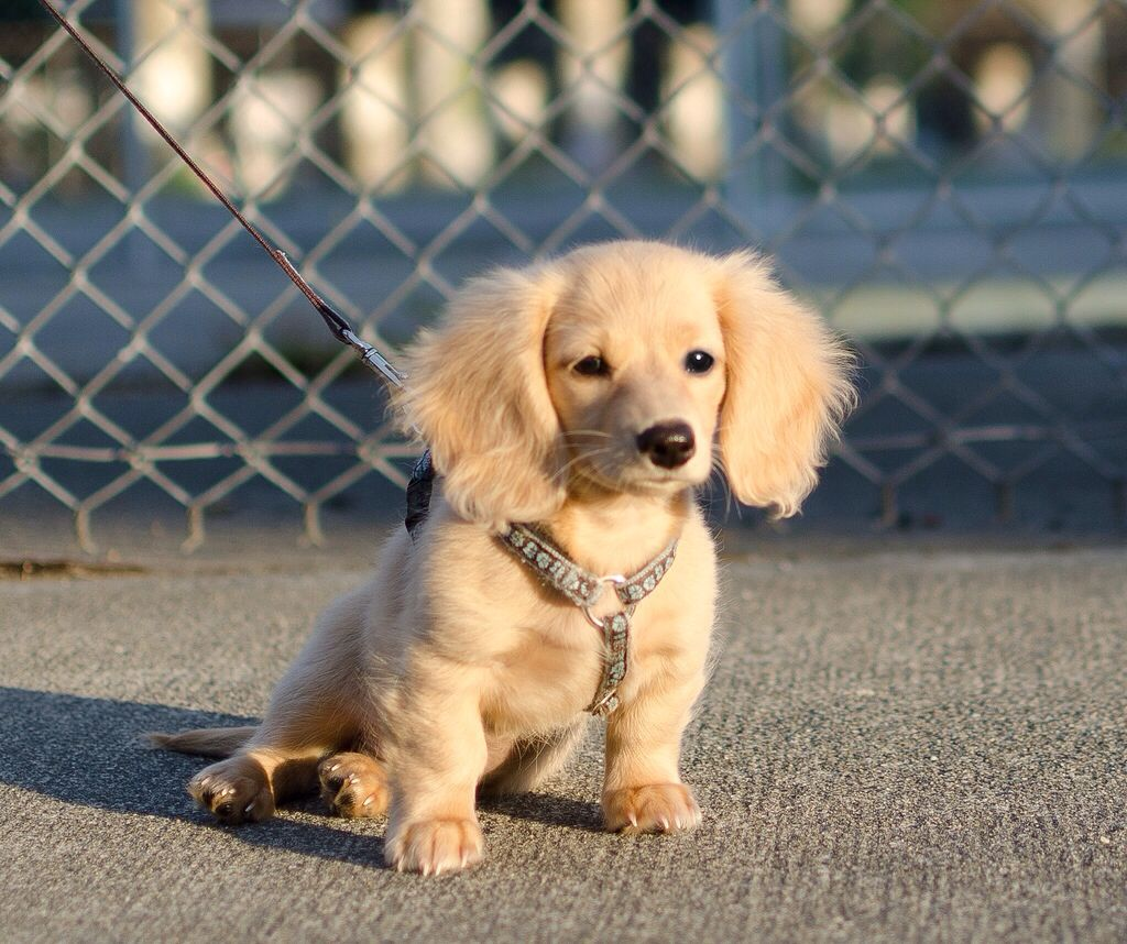 Irish Cream Long Haired Doxie I M In Love Dachshund Puppy