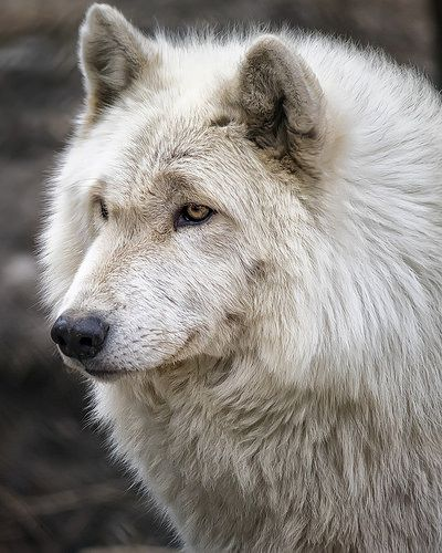 Wolves Sweet white Wolf at species parade licking