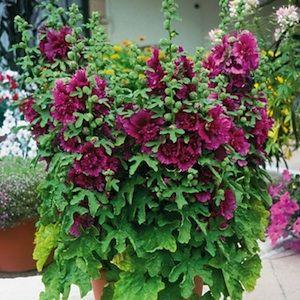 Queeny Dwarf Purple hollyhock seeds