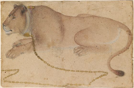 Recumbent Lioness  Iranian, 16th-17th century Safavid period Creation Place: India Ink, opaque watercolor, and gold on paper 14.5 x 20.8 cm (5 11/16 x 8 3/16 in.) Harvard Art Museums