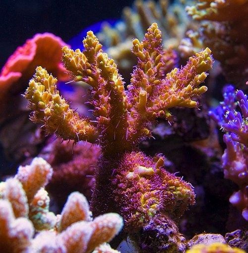 Coral Reef, SPS Corals, Hawaii, Clownfish