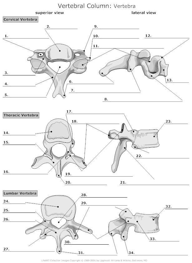 vertebrae diagram blank overhead bridge crane vertebra unlabeled education pinterest anatomy and
