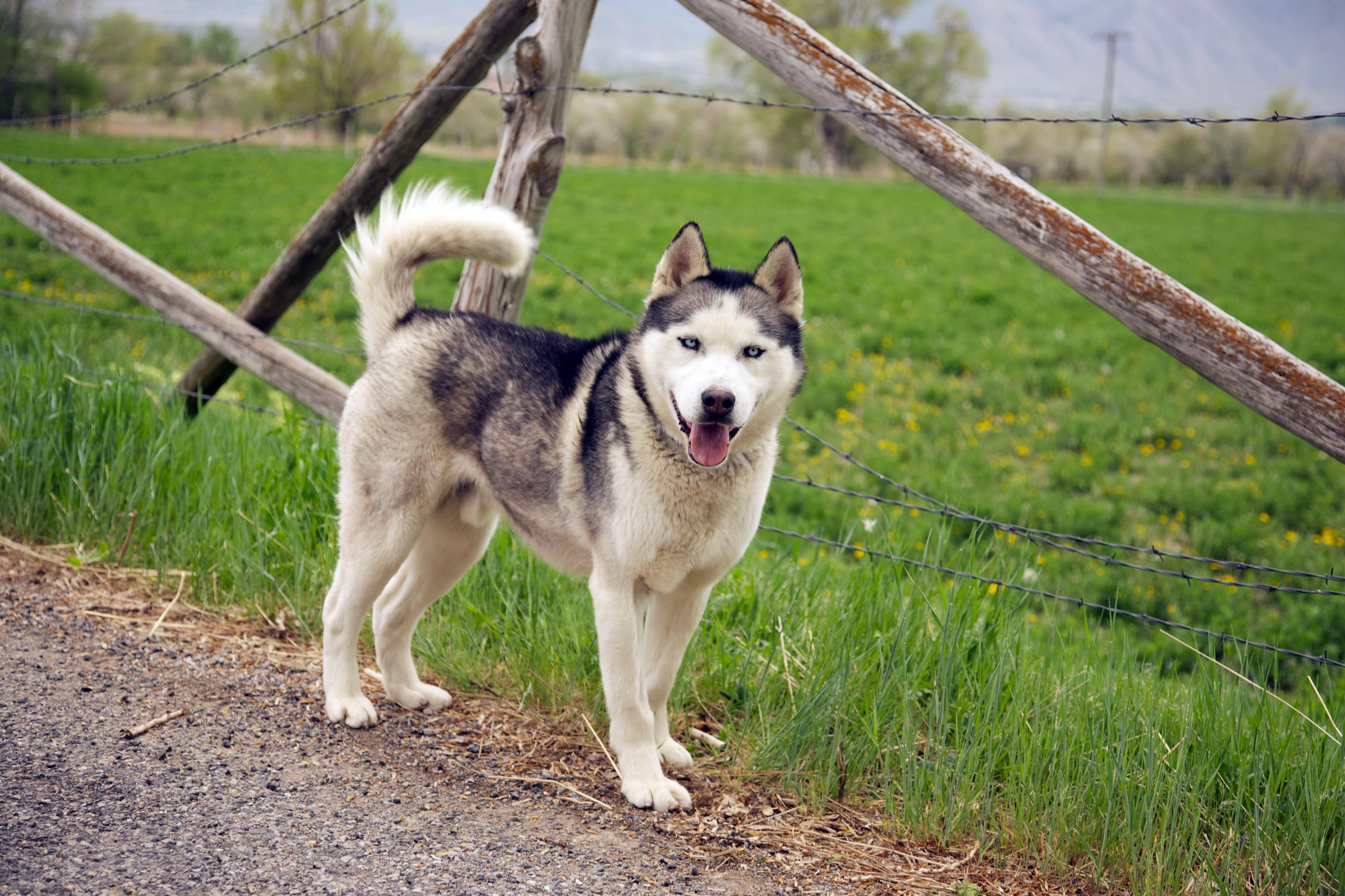 Clyde Is A Beautiful 1 Year Old Siberian Husky Who Is Looking For
