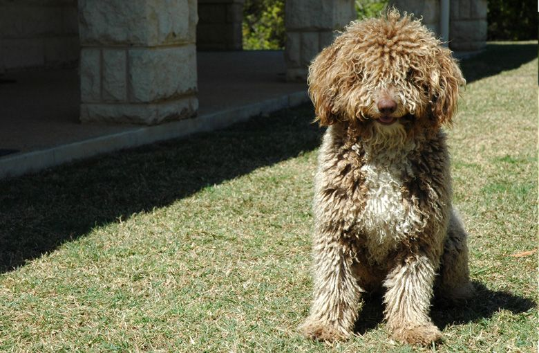 Spanish Water Dogs Australia This Is Muffin Spanish Water Dog