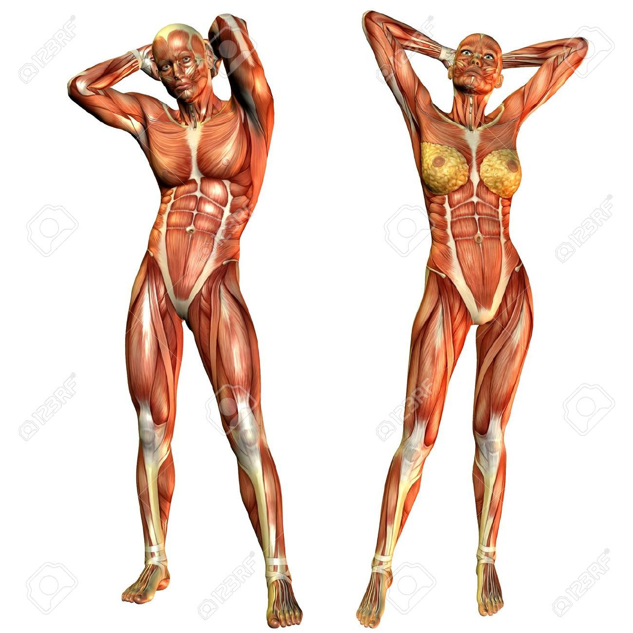 d rendering of the female and male muscle course in a standing, Muscles