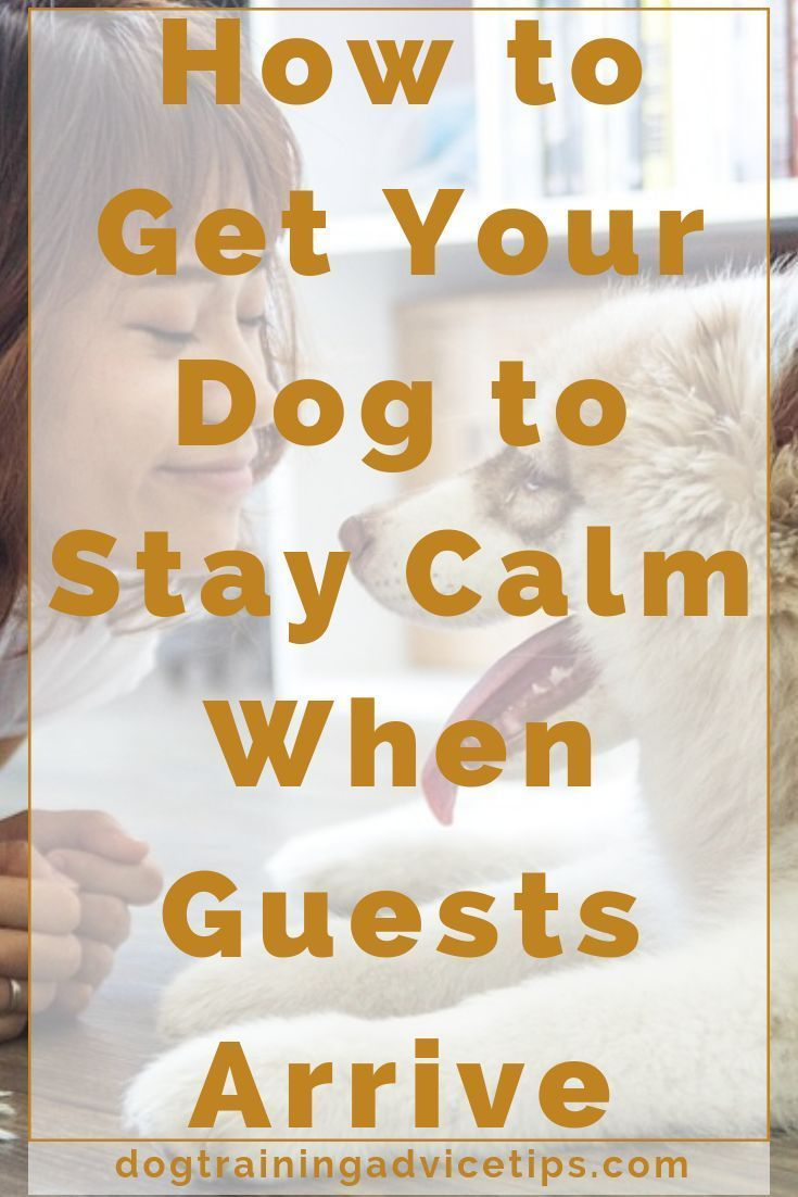 How to Get Your Dog to Stay Calm When Guests Arrive  Dog Training Advice Tips  How to Get Your Dog to Stay Calm When Guests Arrive  Dog Training Tips  Dog Owner Tips  Dog...