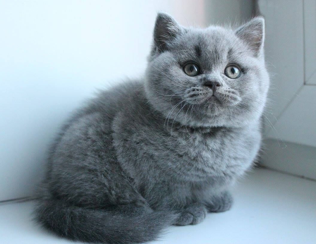 Fluffy Bsh Kitten Cute Cats British Shorthair Cats Beautiful Cats