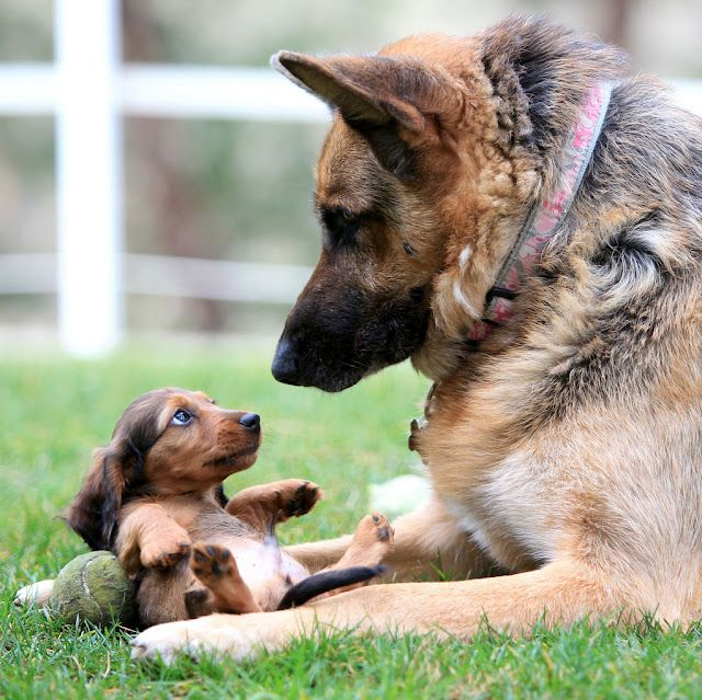 {rub my belly?} wee doxie + a giant Shepherd .....CUTE