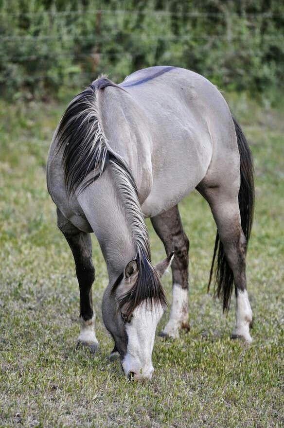 Caballo gris