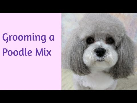 Toy Poodle Body And Finish Trim Youtube Migdli Grooming