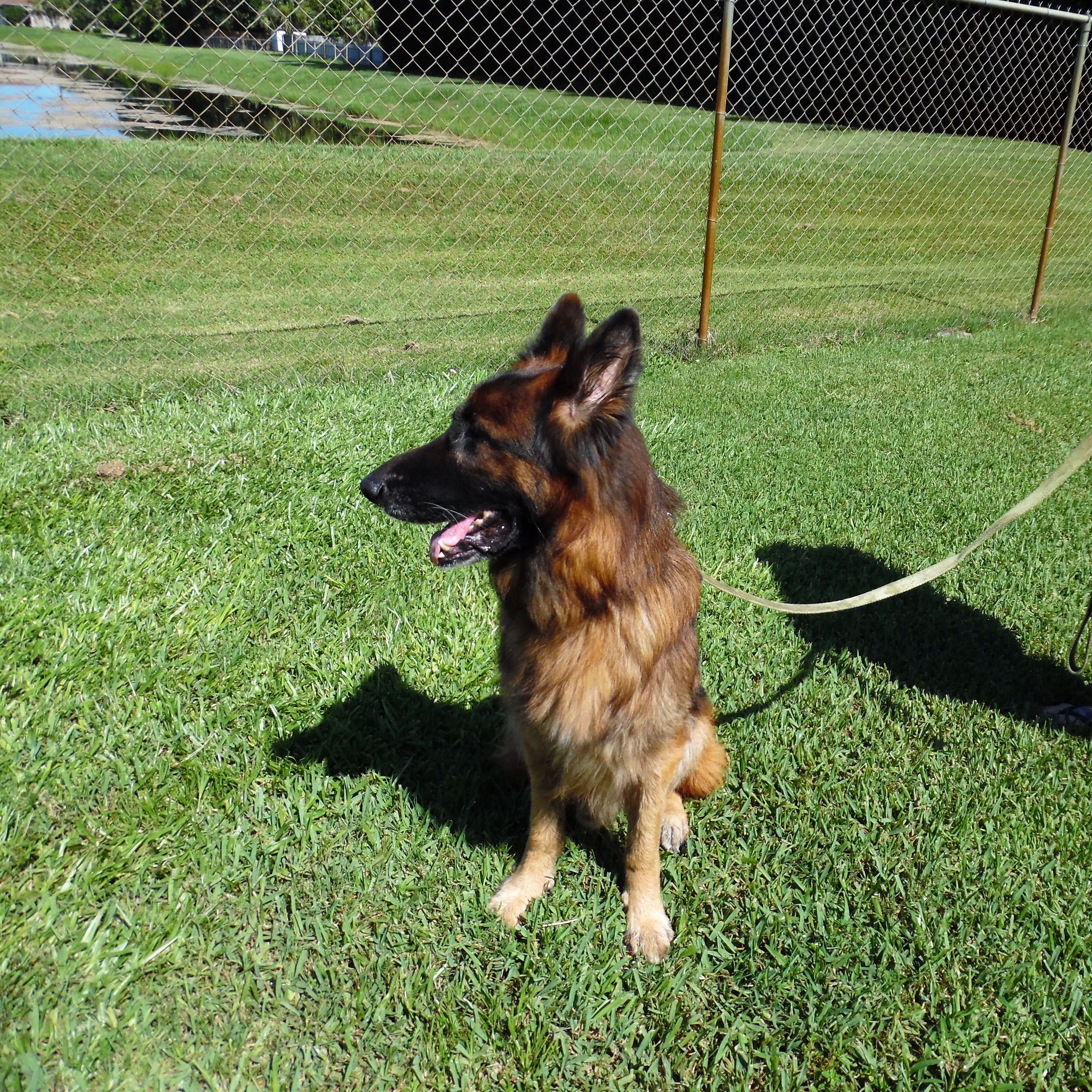 Adopt Max On Dog Search German Shepherd Dogs German Shepherd