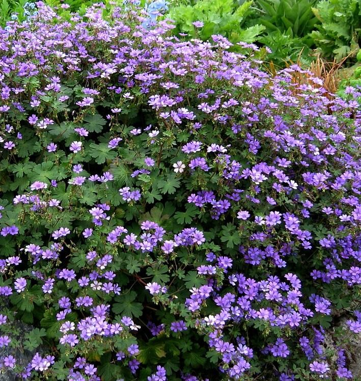 Geranium pyrenaicum bill wallis lucys garden pinterest geranium pyrenaicum bill wallis is an evergreen perennial with a lax sprawling habit small rounded lobed leaves and bright purple flowers produced in mightylinksfo Image collections
