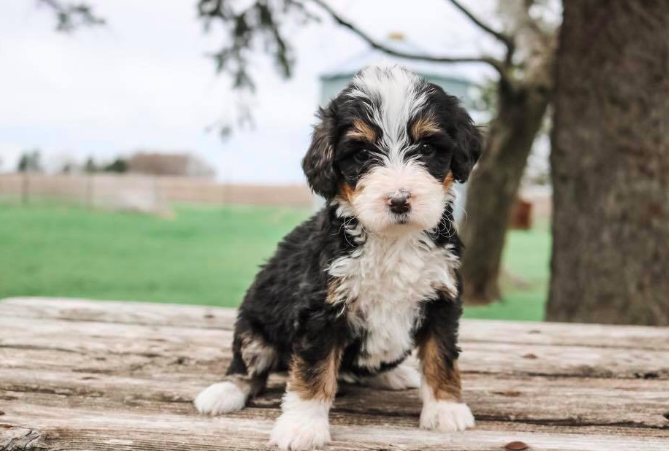 Have You Been Thinking About Adopting A Bernedoodle This Is Your Sign Click Here To Find Out More About Good Dog S Bernedoodle Best Dogs Breeders