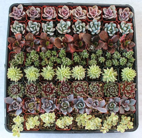 85 SUCCULENTS Wedding Party Succulent Gift by SANPEDROCACTUS, $114.00