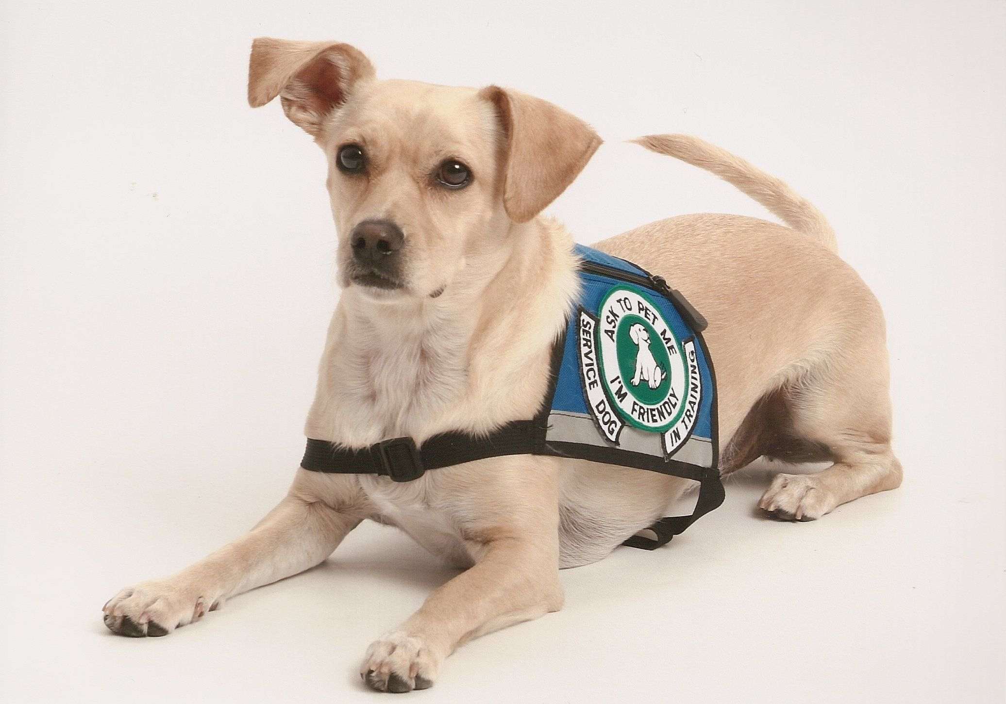 How To Train A Service Animal Service Dog Training Psychiatric