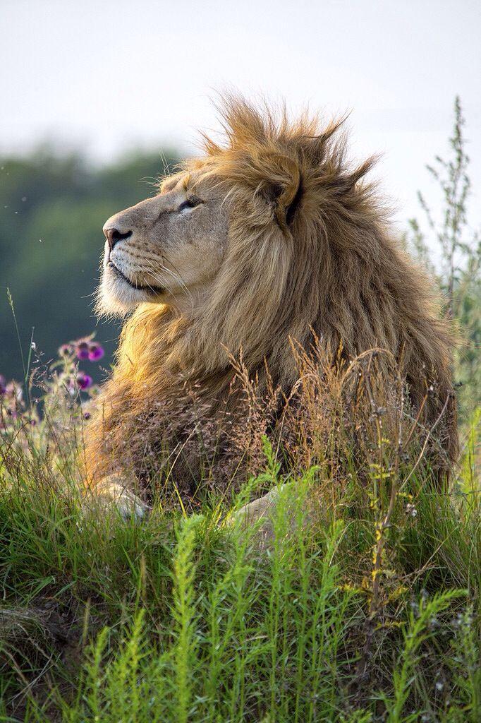 Gorgeous photo! Animal photography, lions