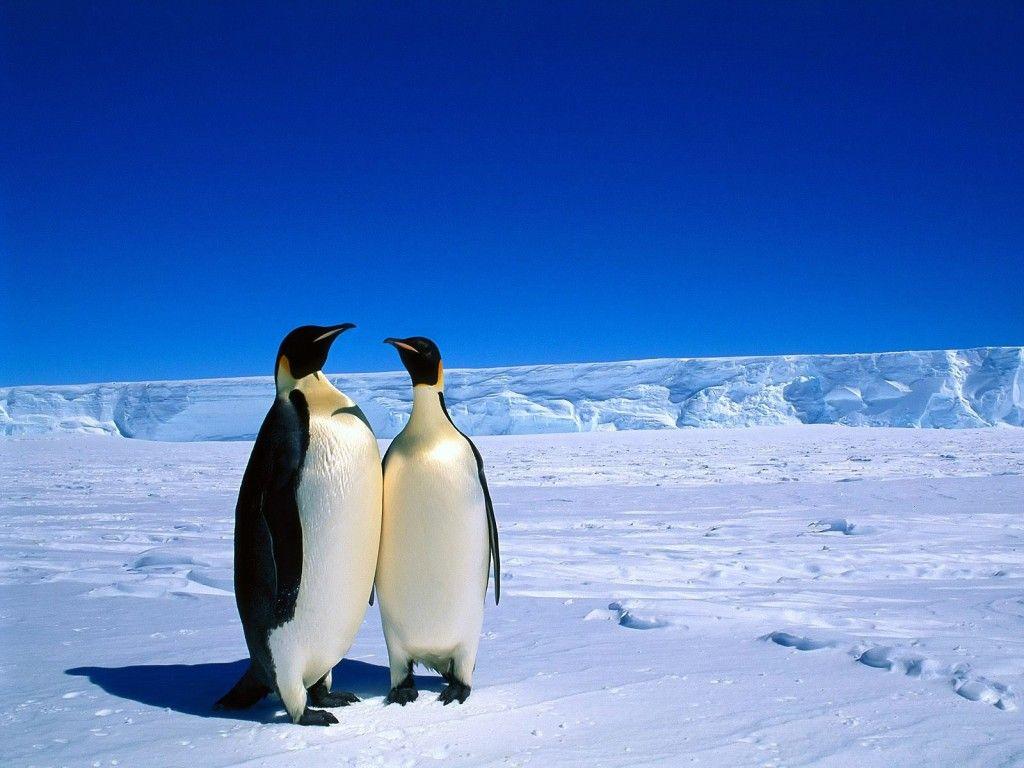 Fondos De Pantalla De Animales: Fondo De Pantalla Pareja De Pingüinos