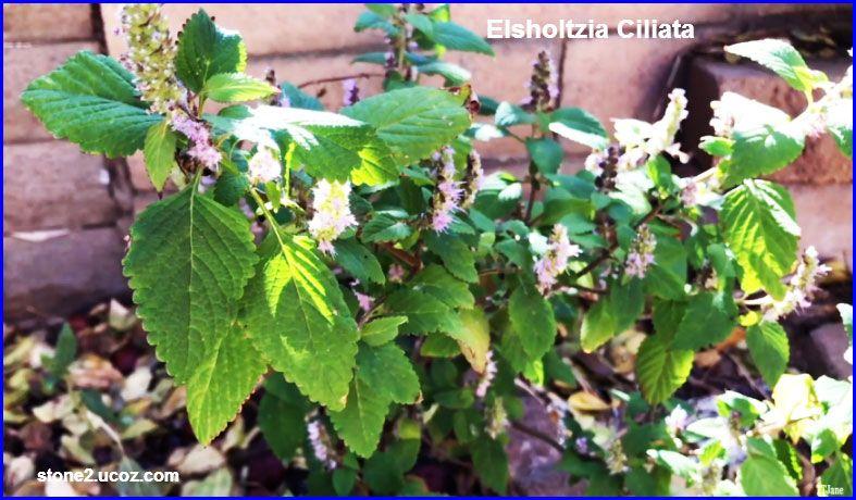 نبات الالشولتزية المهدبة او بلسم الفيتنام او بلسم فيتنامي Elsholtzia Ciliata النبات سميت إلى أسماء شخصيات النبات معلومات نباتية وسمكي Plants Herbs Grapes