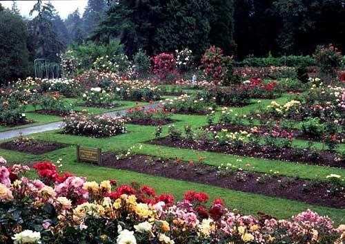 Washington Park International Rose Test Garden. Portland   Oregon ...
