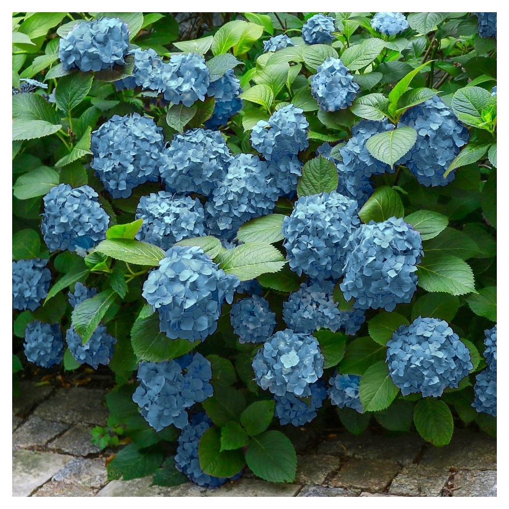 A Reliable Rebloomer Mini Penny Adorns The Landscape With Blossoms In Shades Of Pink Or Blue Depending On The Ph Of The Planting Hydrangeas Plants Hydrangea