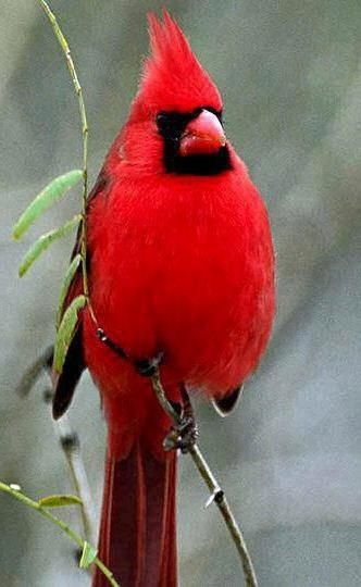I love the cardinal's song!