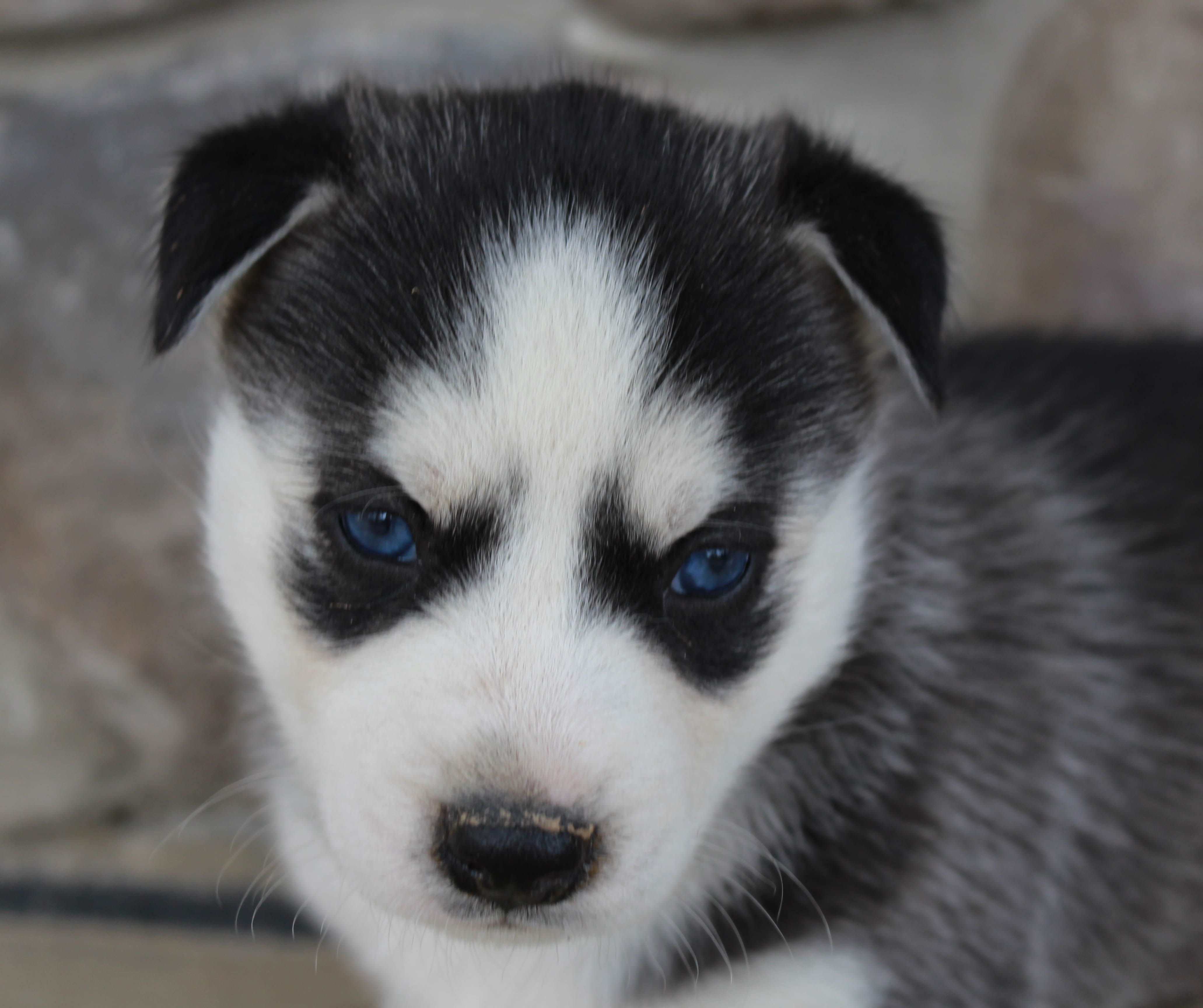 Breed Siberian Husky Gender Male Registry Akc Personality