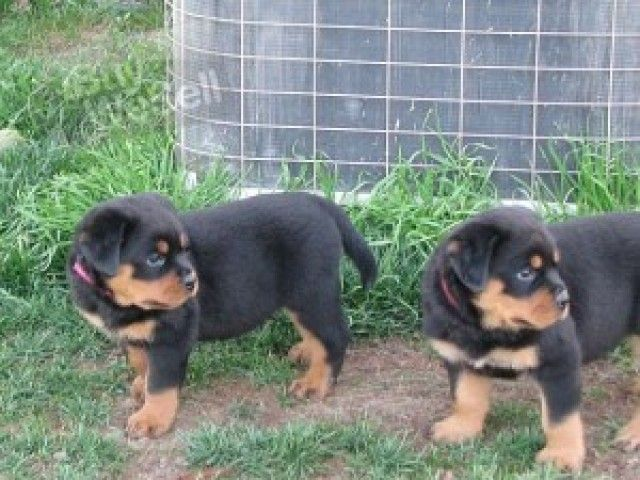 Ibuywesell Buy Sell Free Advertising Post Ads Classified Buying Selling Rottweiler Puppies For Sale Rottweiler Rottweiler Puppies