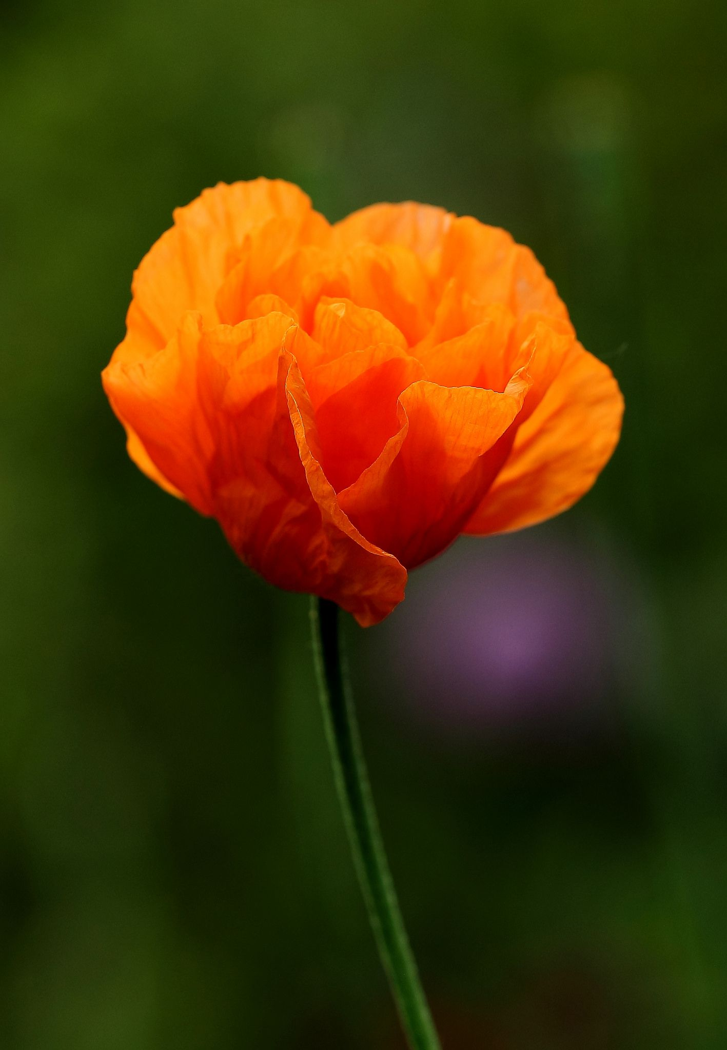 Flickr Recipes Pinterest Orange Poppy Flowers And Gardens