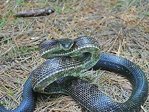 A Cobra Rato Negra E Carnivora E Come Outras Cobras Alem De Ser