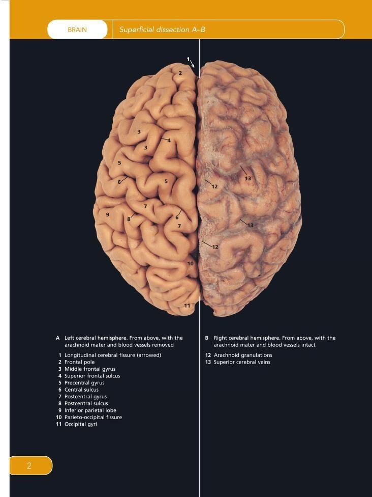 Modern Brain Slices Anatomy Pattern - Anatomy And Physiology Biology ...