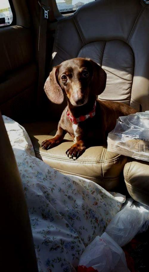 Jojo Dog Dachshund Adult Male Small Paw First Rescue Dog Exercise Dachshund Dog Dachshund