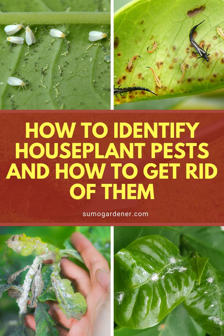 How To Identify Houseplant Pests And How To Get Rid Of Them In 2020 Plant Pests How To Get Rid Identifying House Plants
