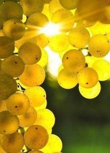 Soleil dans une grappe de raisin grappe de raisin Planter vigne raisin de table