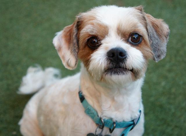 CavaTzu dog for Adoption in San Diego, CA. ADN453972 on