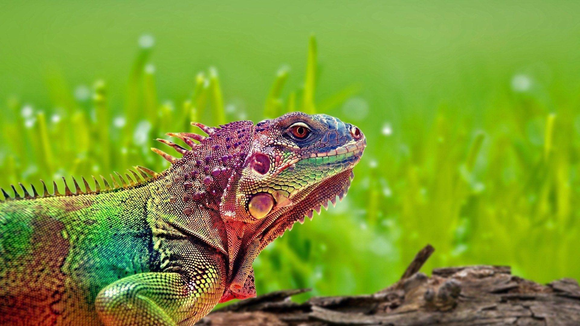 reptiles colorful grass iguana animals 1080P