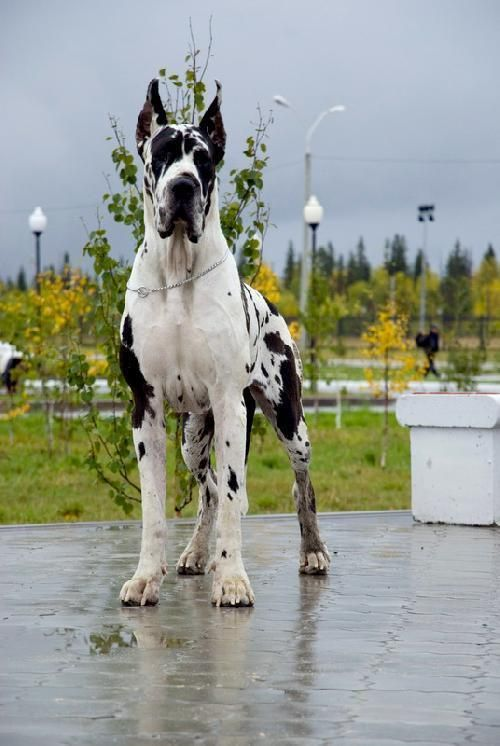 Garmonija Severa Kennel :: GreatDane.Ru