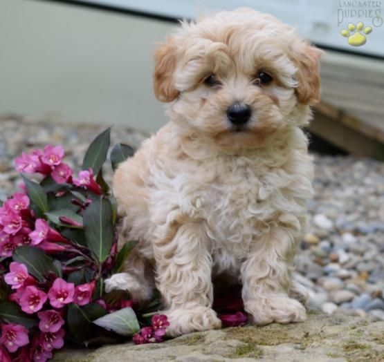 Rusty Boy Fluffball Schnoodle BuckeyePuppies