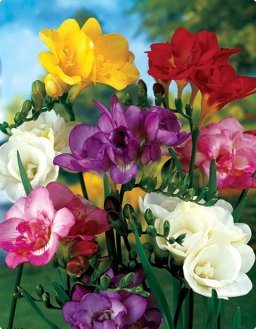 Double Freesia Double Freesia Love The Smell Flowers Bulb Flowers Fragrant Plant