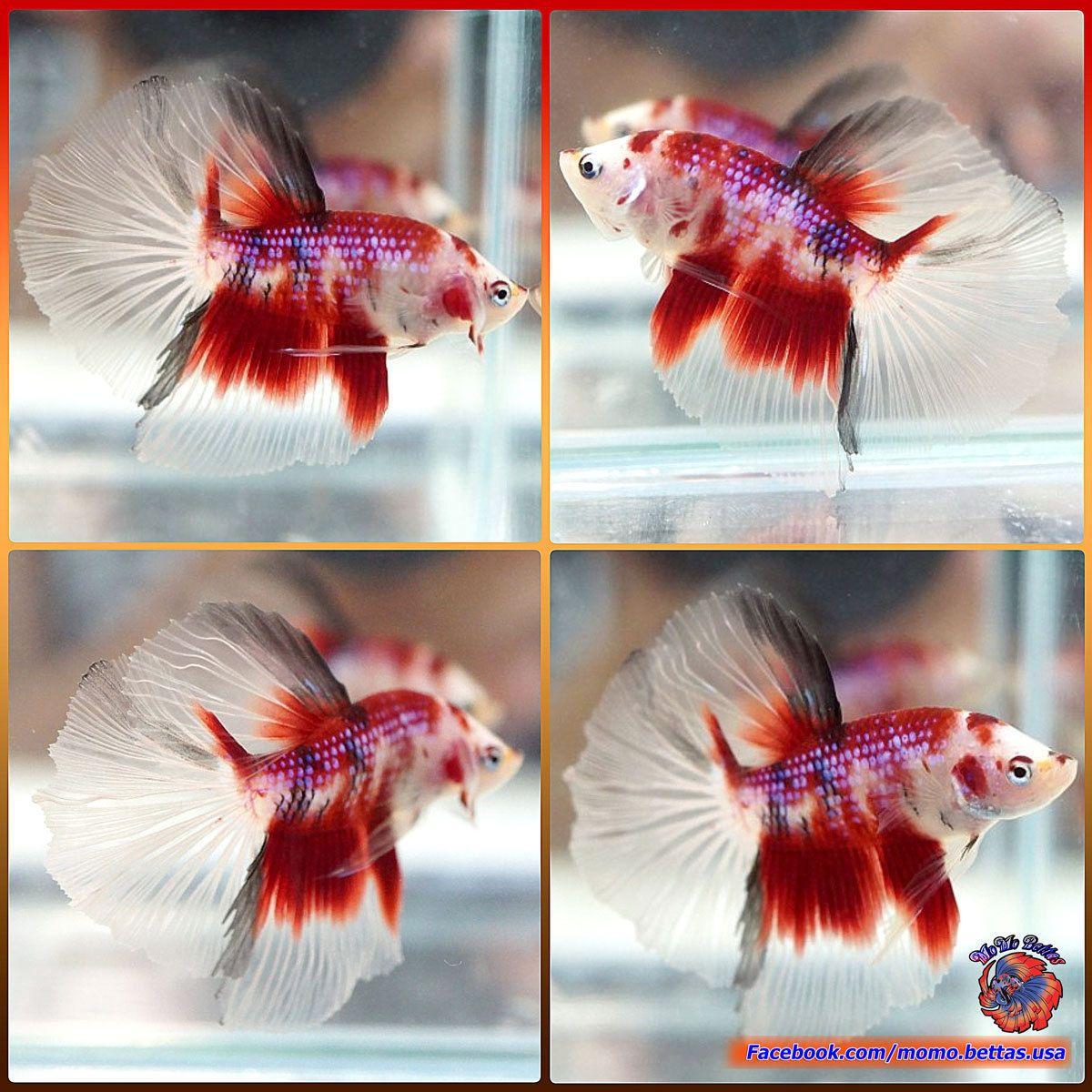 Live Fish Betta Male Fancy Red Koi Galaxy Halfmoon HM #B128 | Pet ...