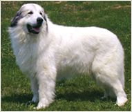 Great Pyrenees Dog Breed Facts And Traits Great Pyrenees Dog