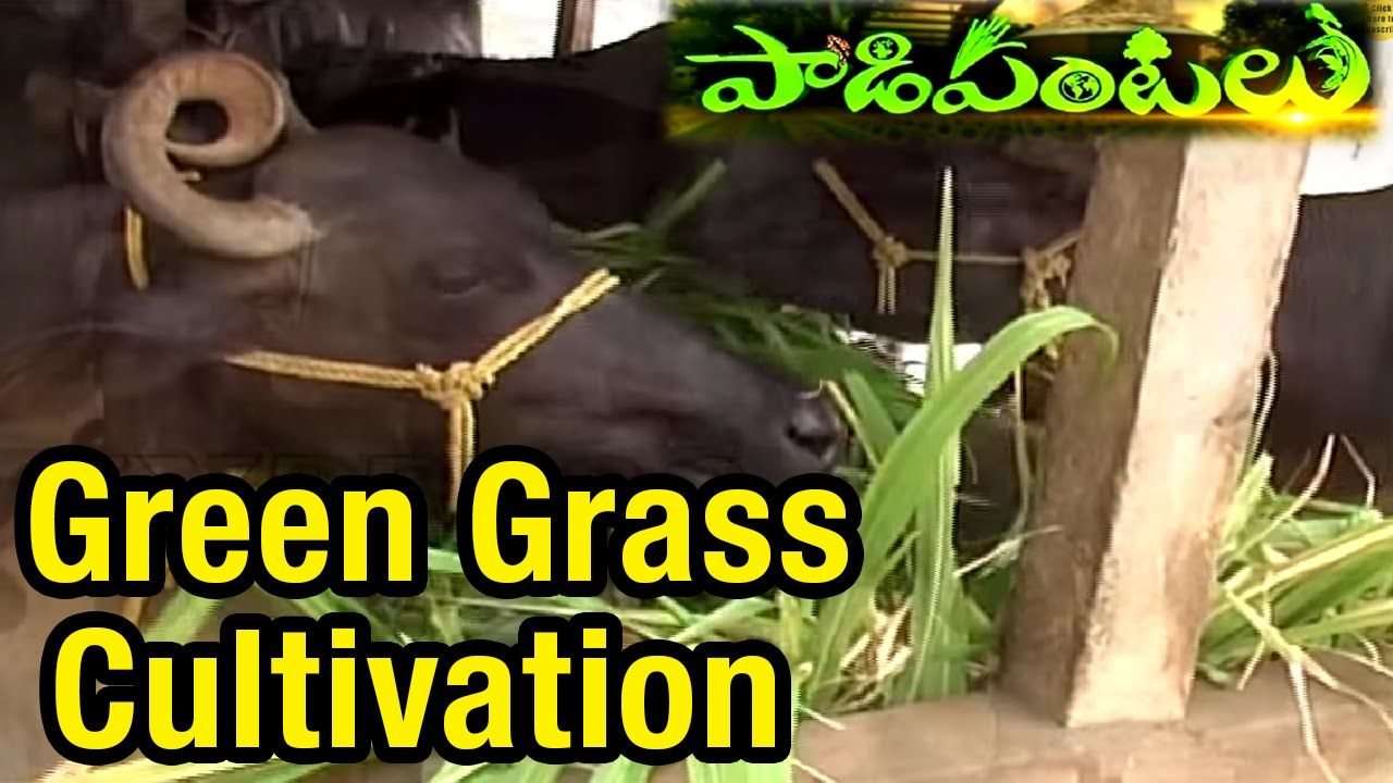 Green Grass Cultivation And Feed Management In Dairy Paadi Pantalu E Green Grass Green Grass