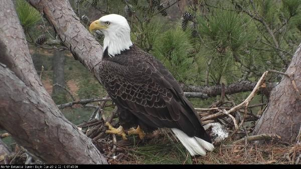 the male eagle in the Norfolk Botanical Gardens nest.